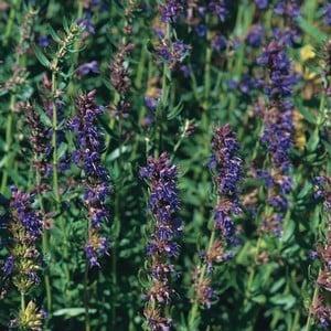 Hyssop 3 Plants Organic