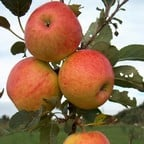 Organic James Grieve Apple Trees