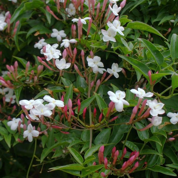 Jasminum Officinale Affine Harrod Horticultural