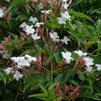 Jasminum officinale affine