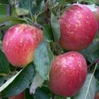 Organic Kidd's Orange Red Apple Trees