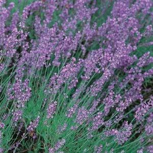 Lavender Hidcote 3 Plants Organic
