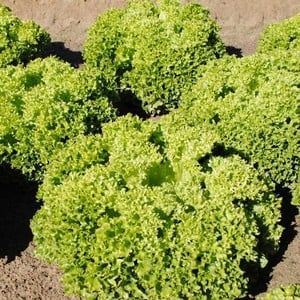 Lettuce Lollo Biondi (10 Plants) Organic