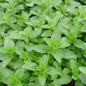 Marjoram 3 Plants Organic