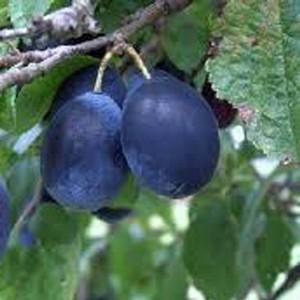 Organic Merryweather Damson Tree