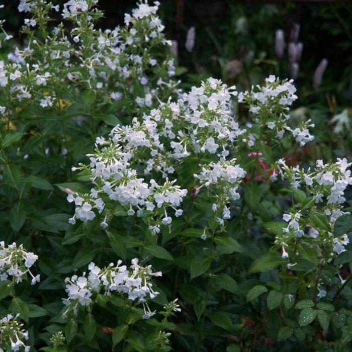 Phlox White Admiral Harrod Horticultural