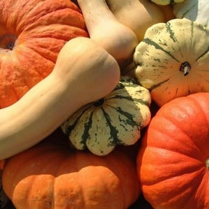 Pumpkin & Squash Patch (12 Plants) Organic