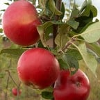 Organic Red Devil Apple Trees