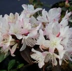 Rhododendron Ginny Gee