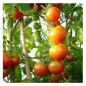 Organic Gardeners Delight Tomato Seeds