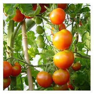 Organic Tomato Moneymaker Seeds