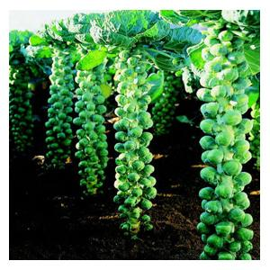 Organic Brussels Sprouts Igor Seeds