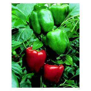 Organic Bendigo Pepper Seeds