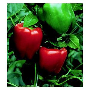 Organic California Wonder Pepper Seeds