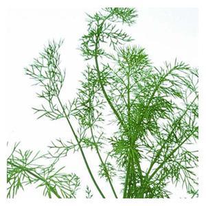 Organic Fennel Herb Seeds