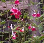 Salvia x jamensis Hot Lips