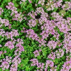 English Thyme 3 Plants Organic