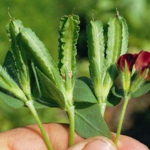 Asparagus Pea 10 Plants Organic