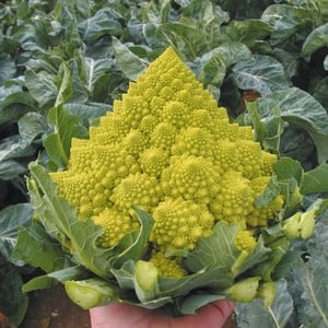 Delivery From Late April Onwardsthese Organic Romanesco Navona Cauliflower Plants Will Produce Novel Cornet Like Jade Green Spears Which Are Beautiful
