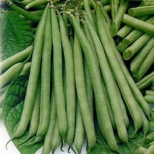 Dwarf French Green Beans (10 Plants) Organic