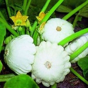 Summer Squash Custard White (3 Plants) Organic