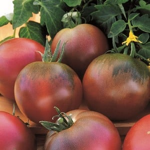 Tomatoe Black Russian (5 Plants) Organic