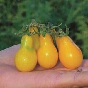 Tomato Yellow Pear (5 Plants) Organic