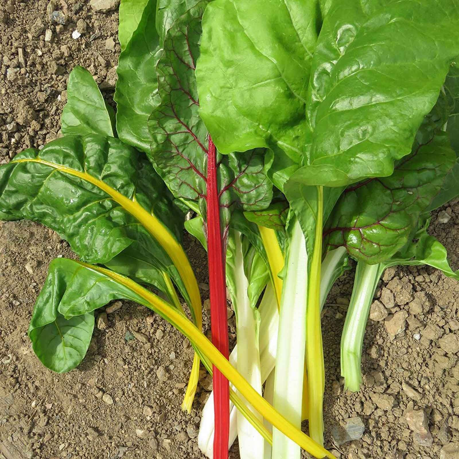Autumn Rainbow Chard Bright Lights 10 Plants Organic Harrod Horticultural