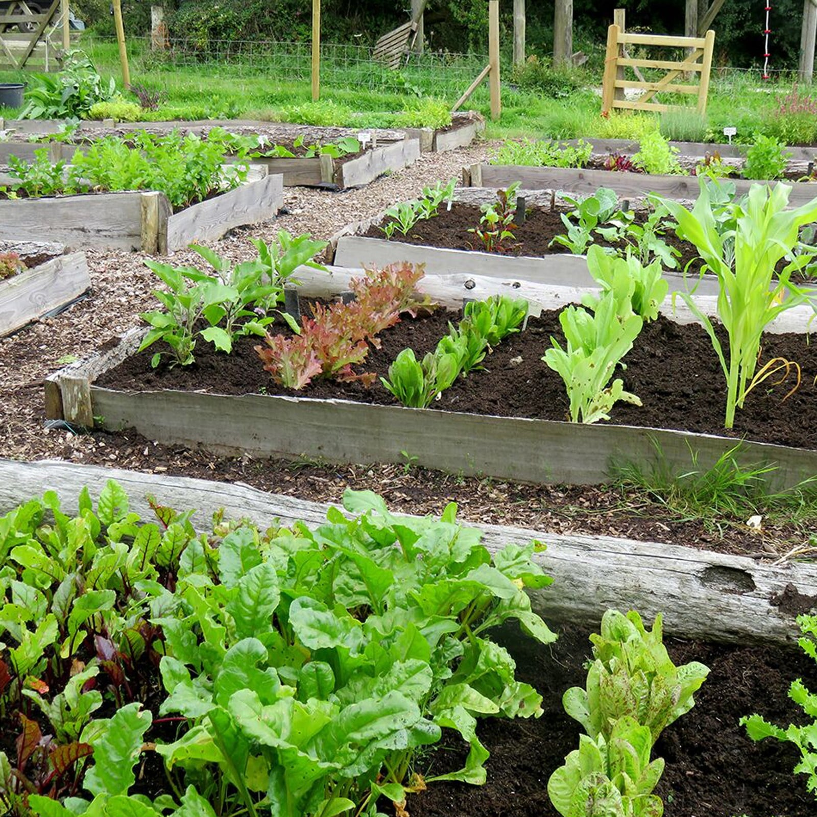 Creating Our First Vegetable Garden Advice Please: Autumn Large Vegetable Patch (310) Plants