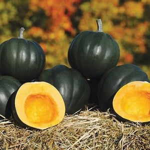 Winter Squash Honey Bear (3 Plants) Organic