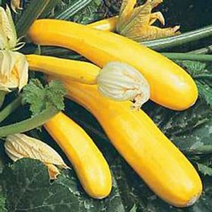 Courgette Yellow Goldy (5 Plants) Organic
