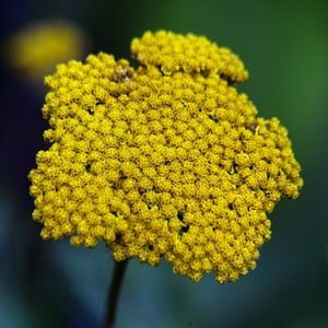 Achillea - Cloth of Gold