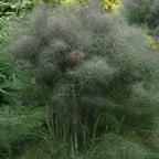 Bronze Fennel (3 Plants) Organic