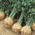 Celeriac Giant Prague (10 Plants) Organic