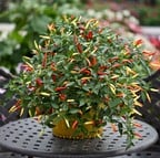 Chilli Pepper Basket of Fire (3 plants) Organic