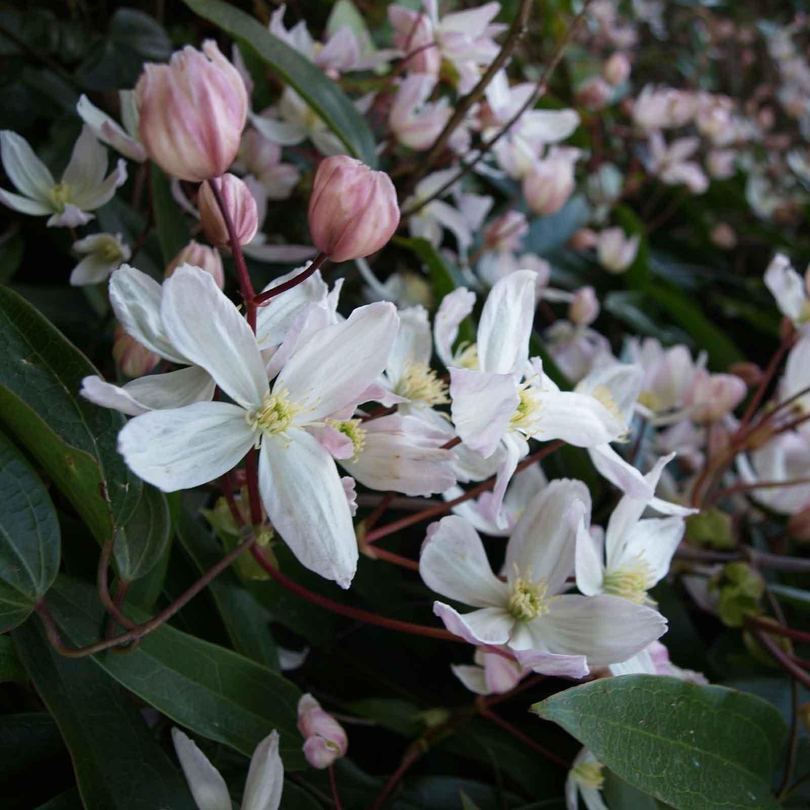 Clematis Armandii Climbing Plant