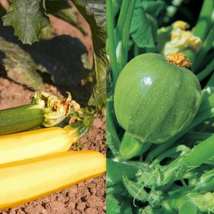 This Colourful Courgette Collection Contains 3 Plants Of Each Of These Super Tasty And Easy To Grow Varieties: All Green Bush, Atena Polka, Tondo Chia