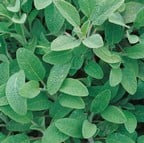 Common Sage (3 Plants) Organic