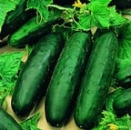 Cucumber Marketmore (5 plants) Organic