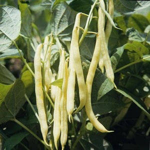 Dwarf French Bean Orinoco (10 Plants) Organic