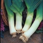Giant Winter Leeks (10 Plants) Organic