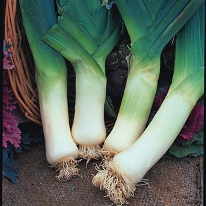 Giant Winter Leeks (20 Plants) Organic