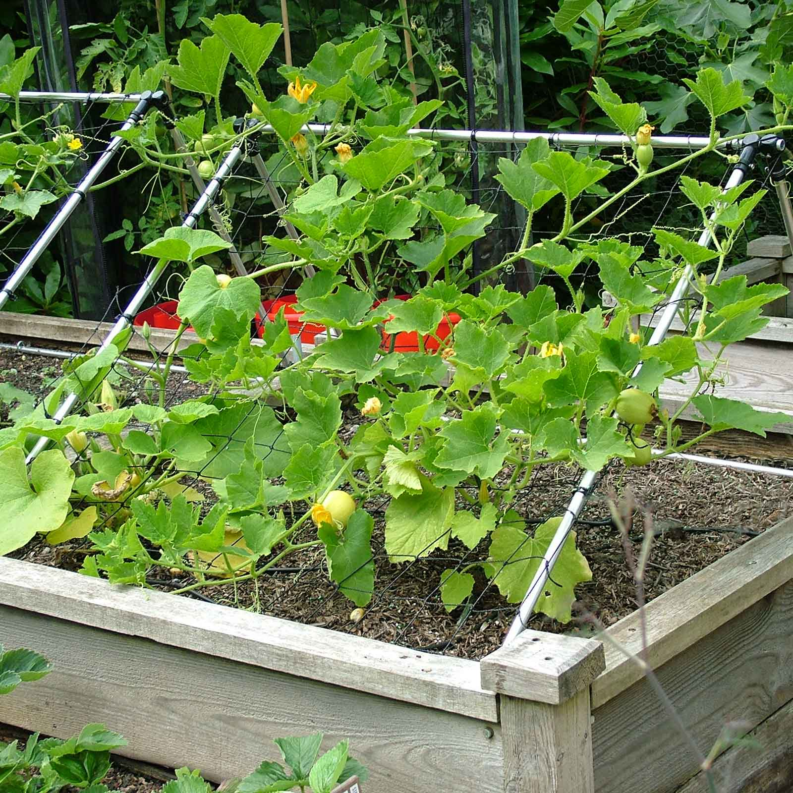 Growing Zucchini On A Trellis: Harrod Slot & Lock® Squash/Cucumber Climbing Frame