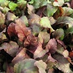 Leaf Beet Bulls Blood (10 Plants) Organic