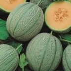 Melon Blenheim Orange (5 Plants) Organic