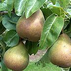 Organic Beurre Hardy Dessert Pear Trees
