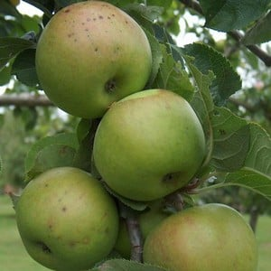 Organic Blenheim Orange Apple Trees