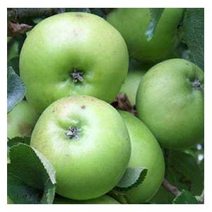 Organic Bramley Apple Trees