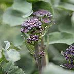Organic Broccoli Early Purple Sprouting seeds