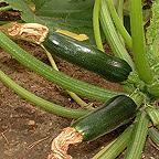 Organic Courgette F1 Defender Seeds
